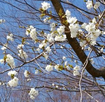 0403桜.jpg