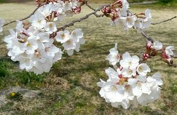0403桜2.jpg