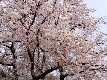 0407sakura1.jpg