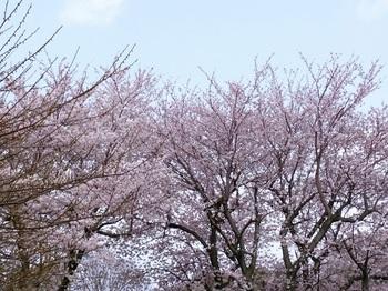 0407sakura4.jpg